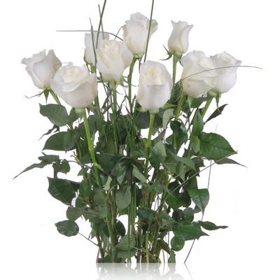 Rosas blancas