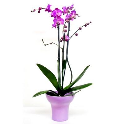 Planta orquidea rosa